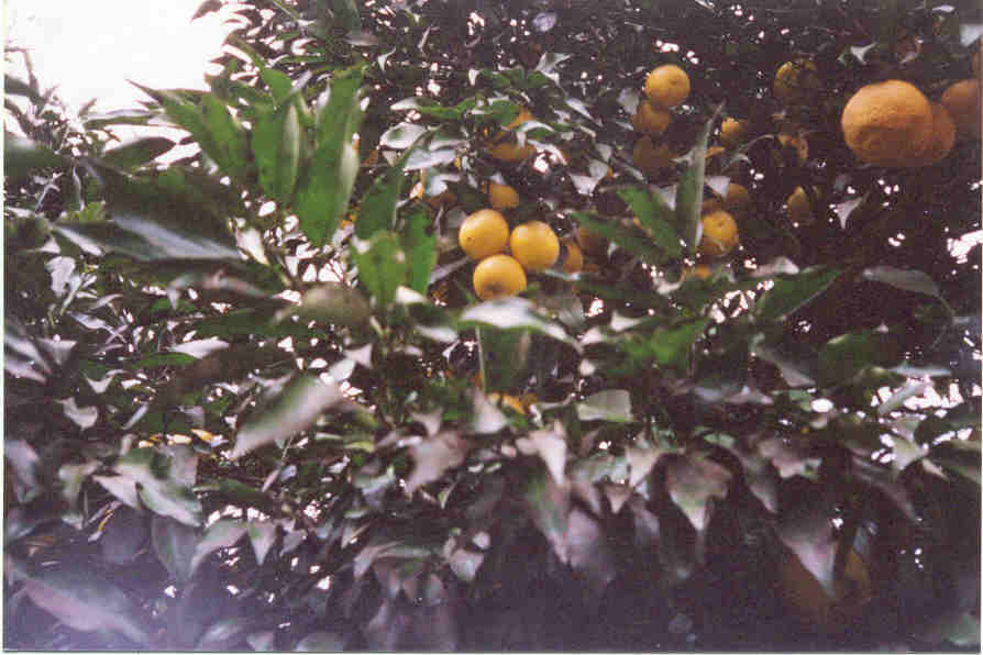 Taichang lemon